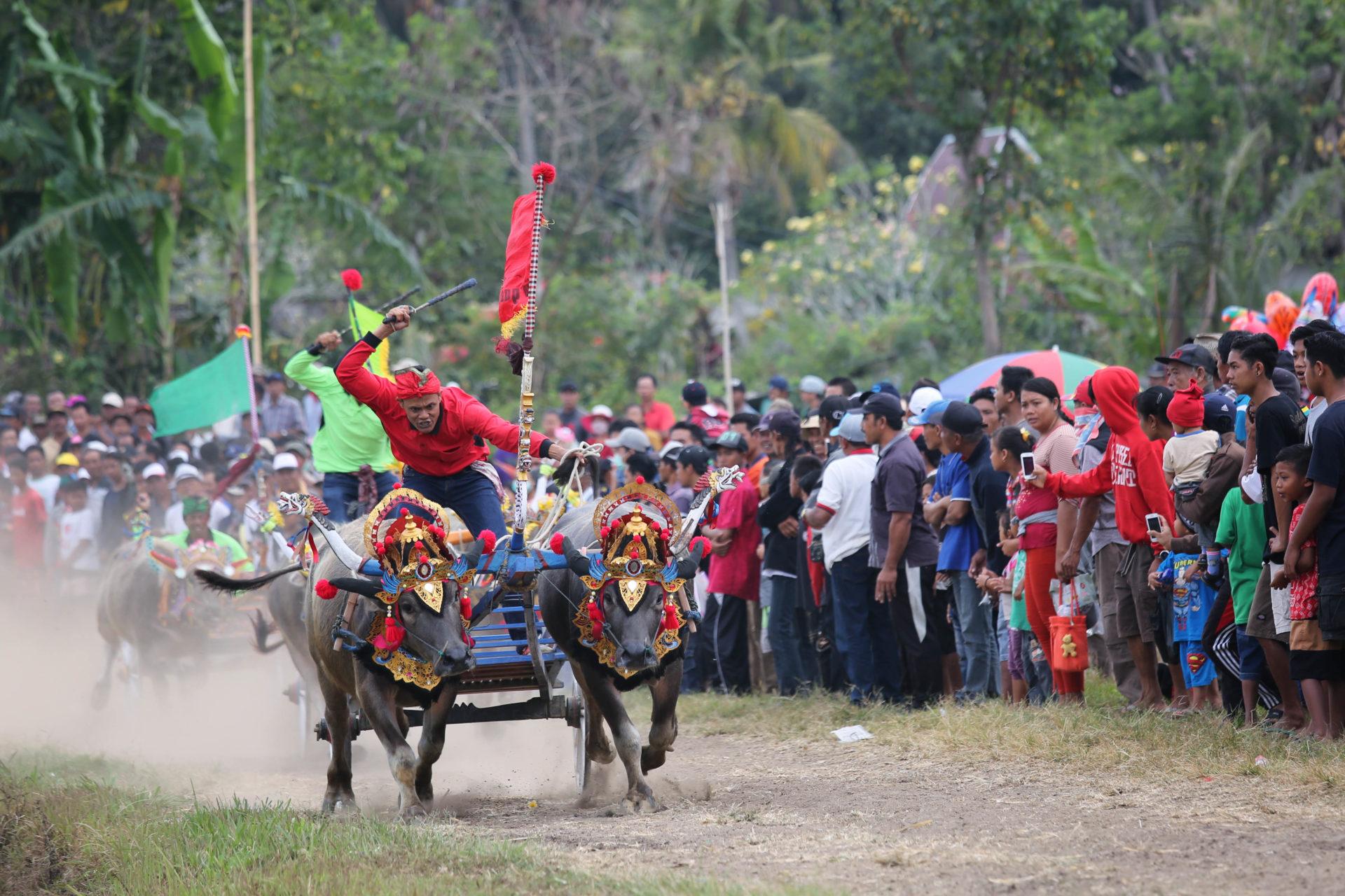 Rivalen der Rennbahn beim Makepung – Ein Büffelrennen auf Bali