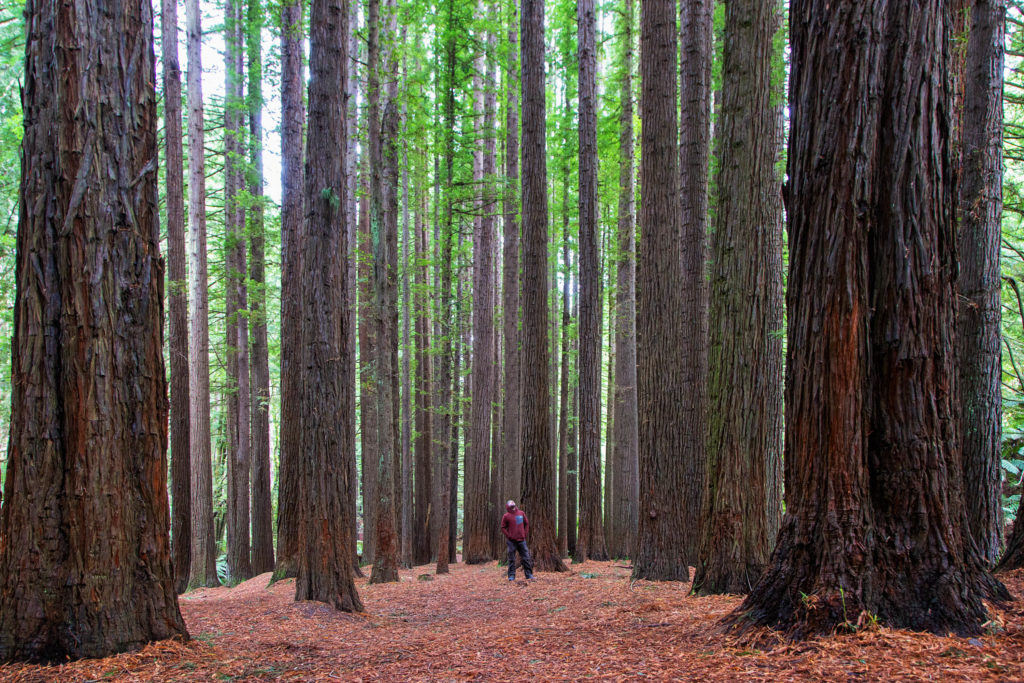 Great Ocean Road - Die Redwood Plantation