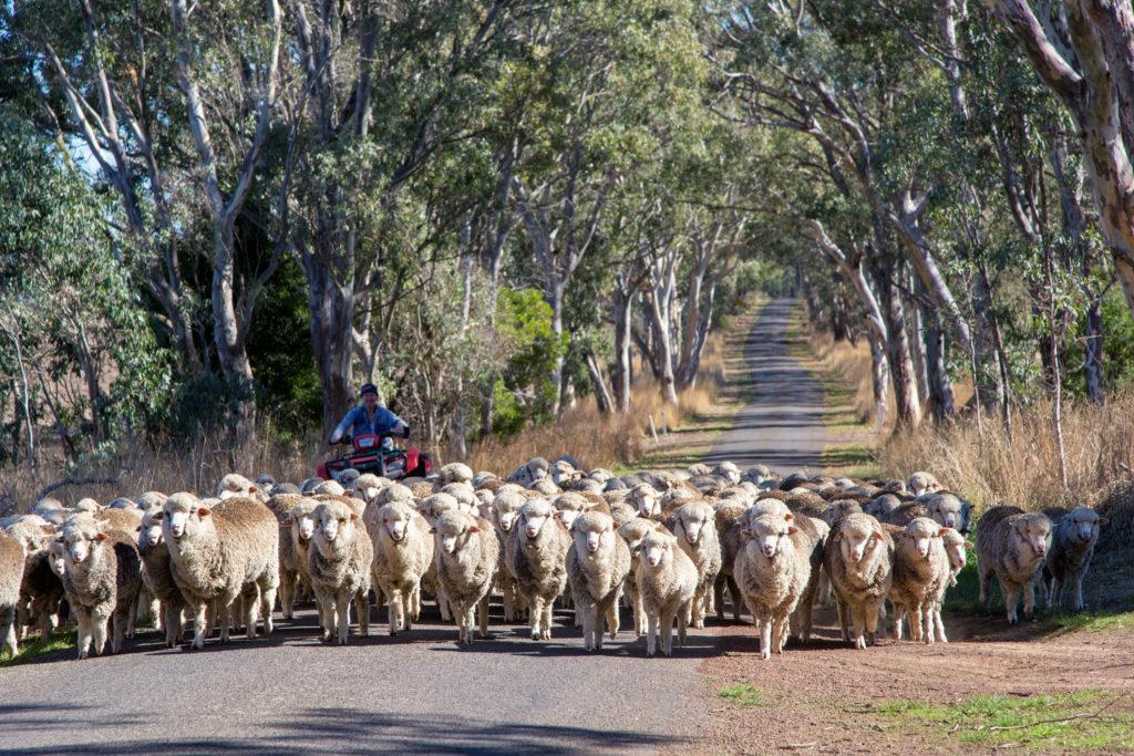 Schafe scheren in Australien - Schafherde auf der Strasse