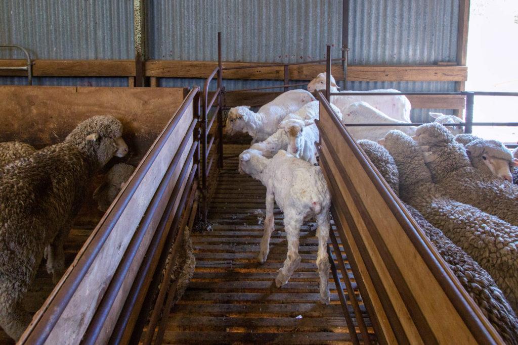 Schafe scheren in Australien - Geschorene Schafe