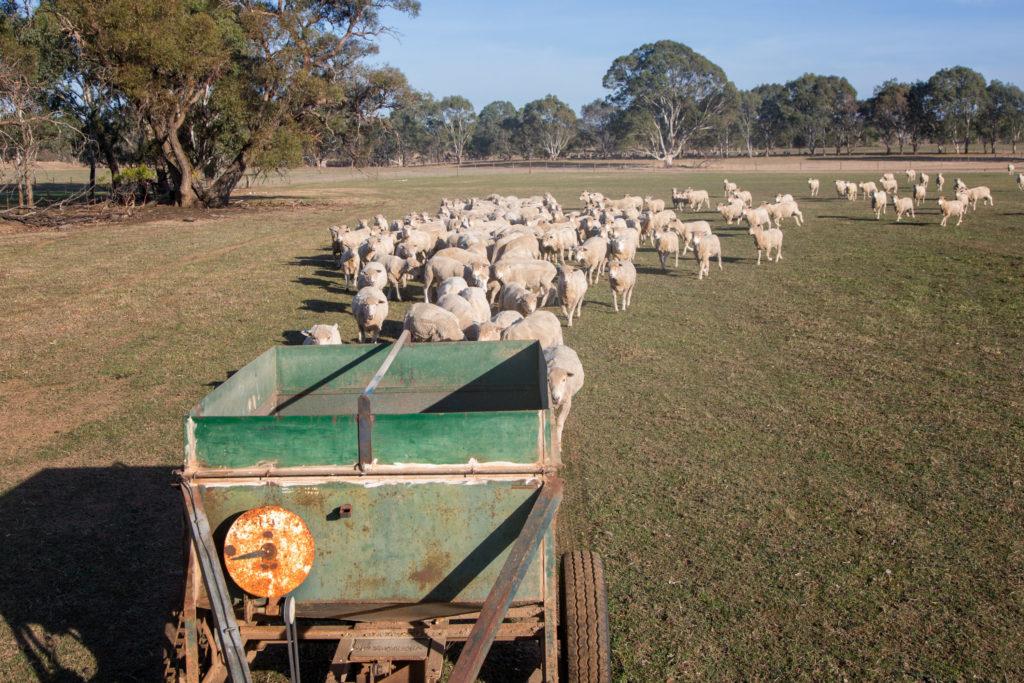 Schafe scheren in Australien - Schafe auf der Weide