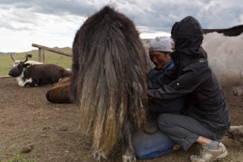 Yak melken, die mongolische Küche
