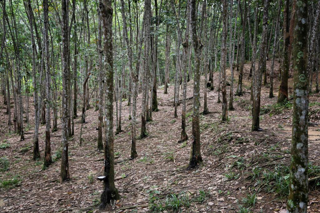 Dschungel Trekking in Bukit Lawang - Gummibaumplantagen