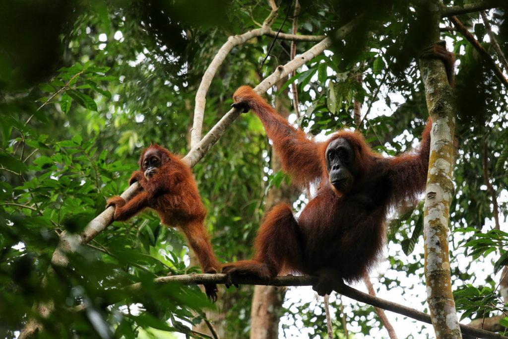 Orang Utan - Dschungel Trekking Bukit Lawang