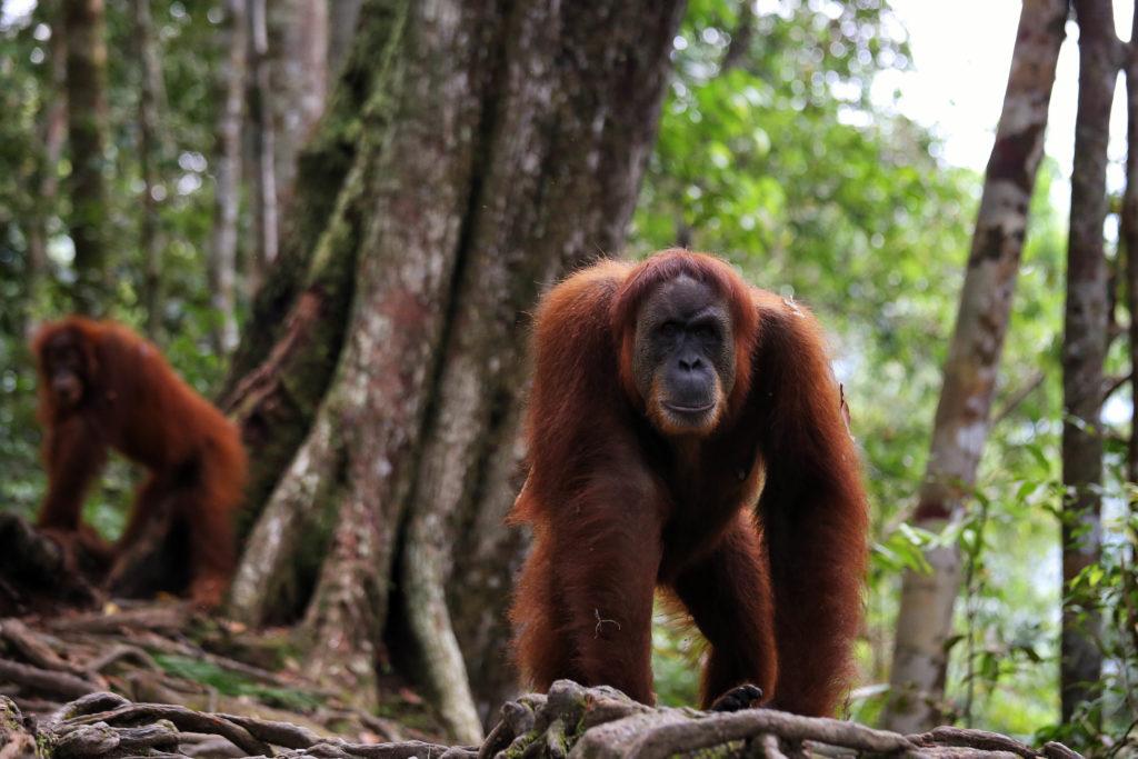 Orang Utan Mina - Dschungel Trekking Bukit Lawang, Sumatra, Indonesien