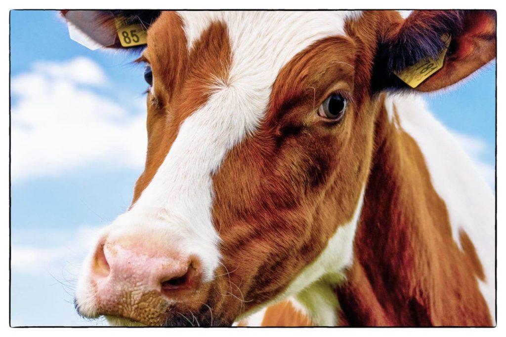Kuh - Bauernleben Österreich