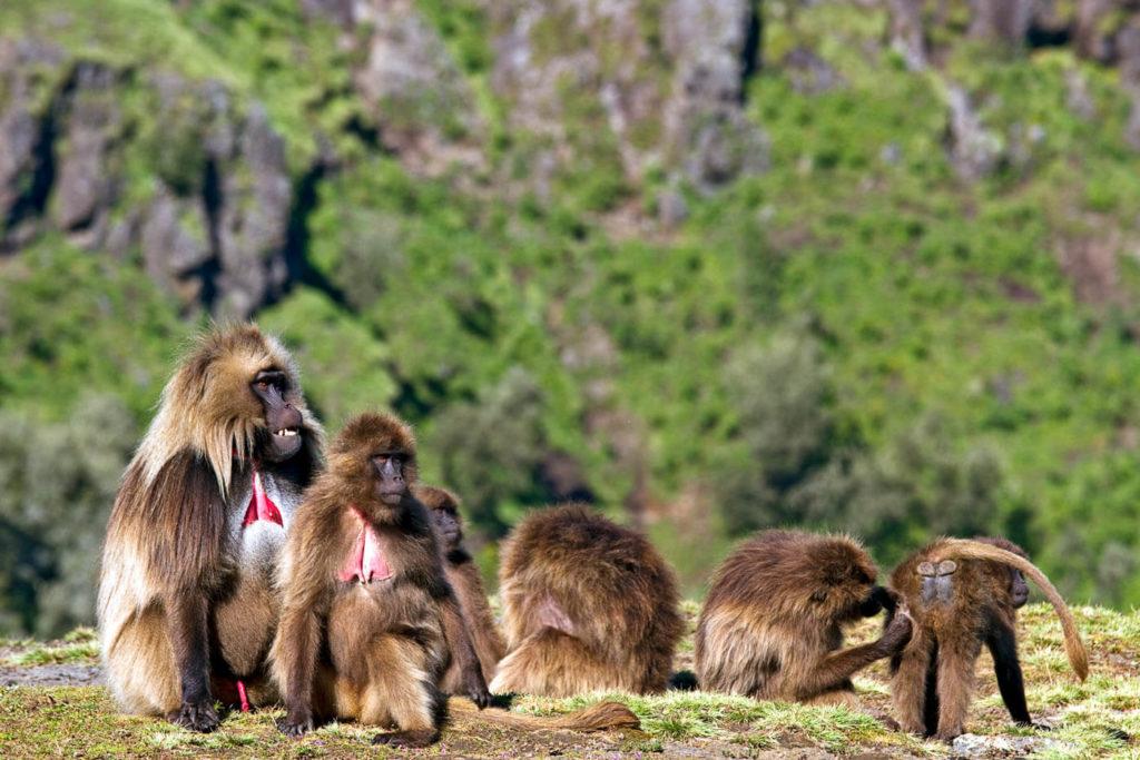 Dscheladas (Blutbrustpaviane) im Simien Mountains Nationalpark - Äthiopien Reisebericht in Bildern
