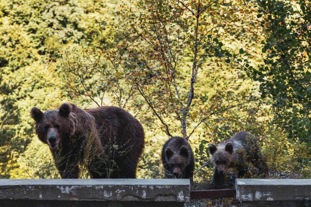 Bären auf der Transfăgărășan Hochstraße - Rumänien Roadtrip mit dem Wohnmobil